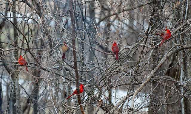 group of cardinals.jpg